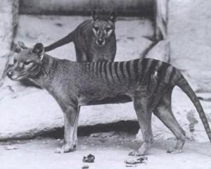 tasmanian_tiger_0