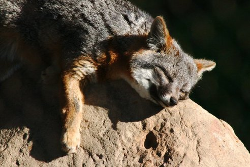 island_fox_sleeping.jpg.492x0_q85_crop-smart